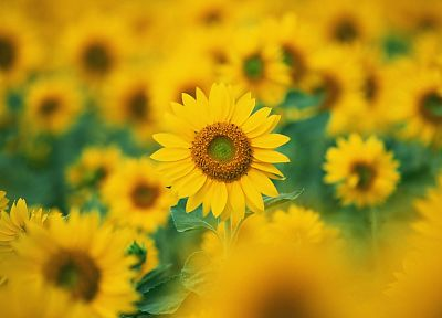 nature, flowers, sunflowers - desktop wallpaper