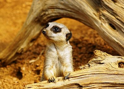animals, meerkats - random desktop wallpaper