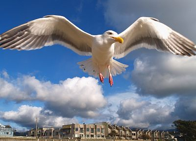 birds, animals, seagulls, hover - related desktop wallpaper