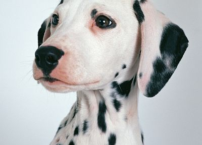 animals, dogs, dalmatians - random desktop wallpaper