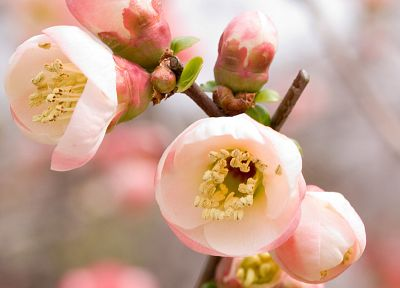 cherry blossoms, flowers, macro - desktop wallpaper