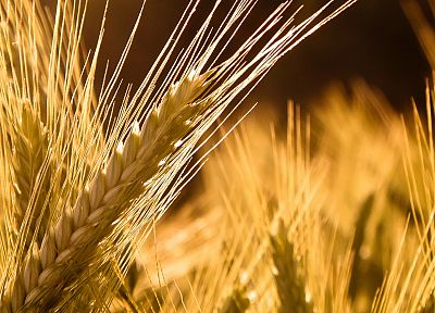 nature, wheat - desktop wallpaper