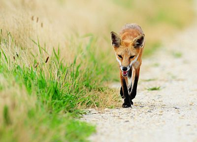 animals, grass, foxes - random desktop wallpaper