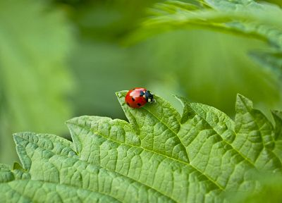nature, insects, beetles, ladybirds - desktop wallpaper