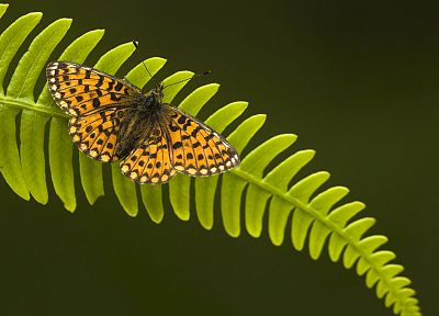 insects, ferns, butterflies - related desktop wallpaper