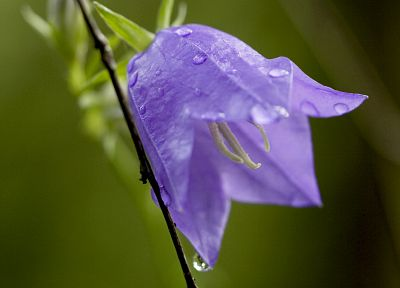 flowers, water drops, bougainvillea - desktop wallpaper