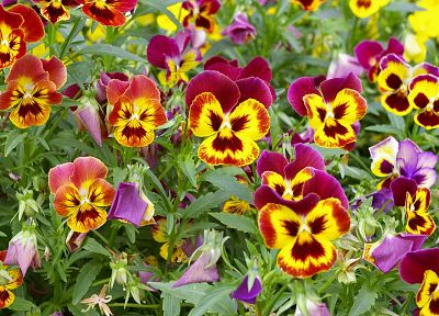 nature, flowers, pansies - related desktop wallpaper