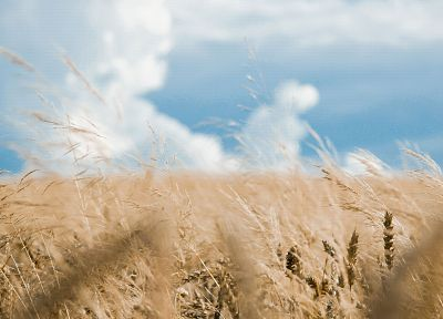 fields, wheat, grain - desktop wallpaper