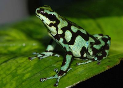 animals, frogs, amphibians, Poison Dart Frogs - random desktop wallpaper