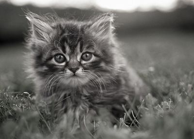 cats, animals, kittens, greyscale - related desktop wallpaper