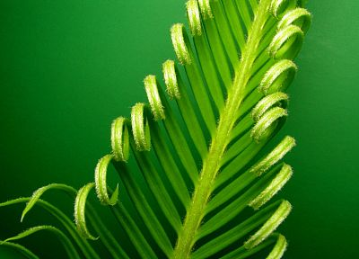green, nature, leaf, leaves, plants, macro, cycas revoluta - related desktop wallpaper