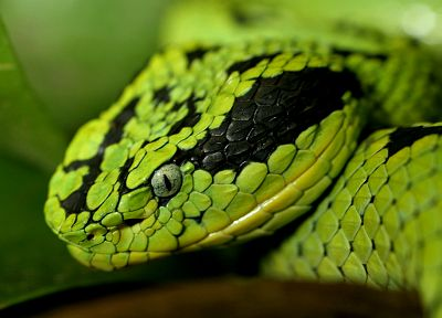green, nature, snakes, reptiles - random desktop wallpaper