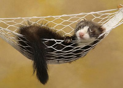 animals, hammock, ferret - desktop wallpaper