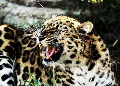 animals, feline, leopards - related desktop wallpaper