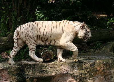 animals, tigers, white tiger - related desktop wallpaper