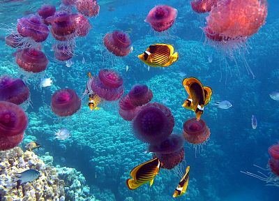 nature, fish, jellyfish, underwater, coral reef, sealife - random desktop wallpaper