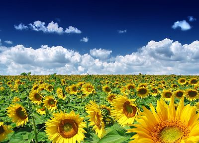 clouds, nature, sunflowers - random desktop wallpaper