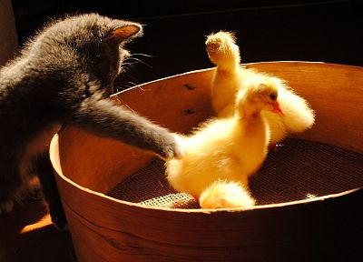 cats, animals, ducks, duckling, kittens, baby birds - related desktop wallpaper