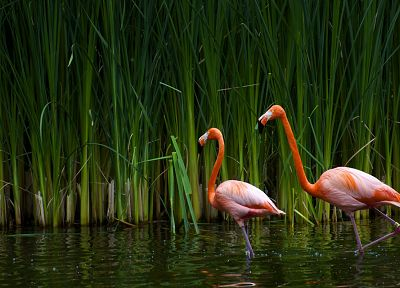 birds, animals, plants, flamingos - desktop wallpaper