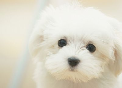 white, animals, dogs, Maltese - desktop wallpaper