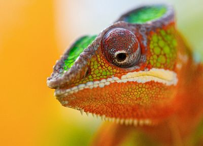 chameleons, reptiles, bright - desktop wallpaper