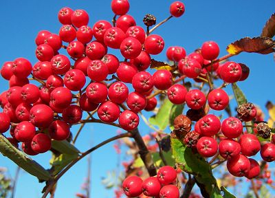 fruits, rowan tree, berries - random desktop wallpaper