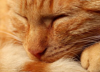 close-up, cats, animals, kittens, closed eyes - related desktop wallpaper
