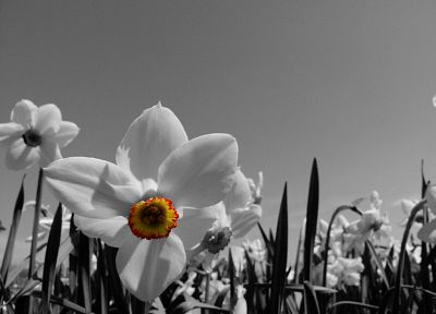 flowers, selective coloring, daffodils - desktop wallpaper