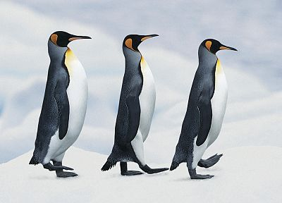 birds, penguins - random desktop wallpaper