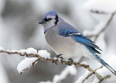 birds, animals, Blue Jay, Jays - random desktop wallpaper