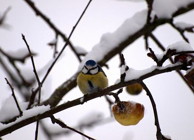 winter, snow, birds, blue tit - random desktop wallpaper