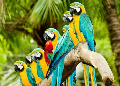birds, animals, parrots, Blue-and-yellow Macaws - related desktop wallpaper