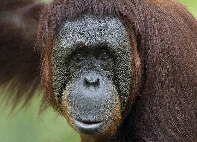 animals, apes, monkeys, primates, orangutans - related desktop wallpaper