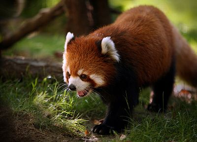 nature, animals, grass, red pandas - related desktop wallpaper