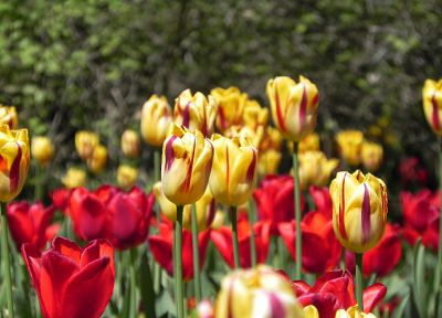nature, flowers, grass, tulips, grain - related desktop wallpaper