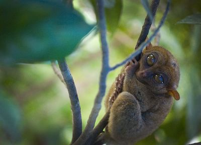animals, monkeys, tarsiers - desktop wallpaper