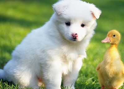 animals, ducks, dogs, duckling, canine, baby birds - related desktop wallpaper