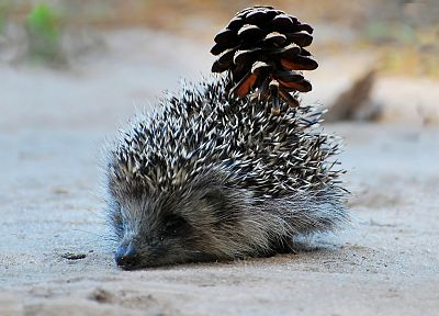animals, hedgehogs, pinecones - related desktop wallpaper