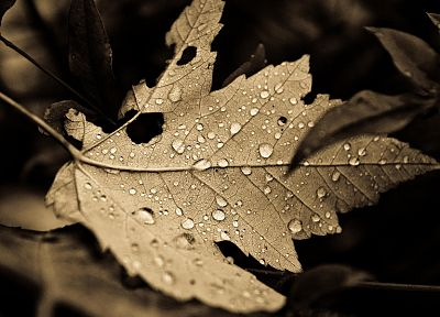 nature, leaves, plants, sepia, monochrome, fallen leaves - related desktop wallpaper