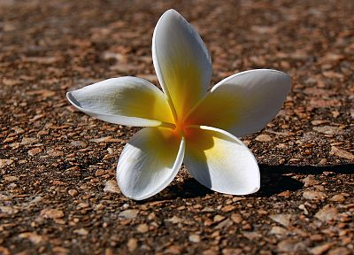 nature, flowers, plants, plumeria - desktop wallpaper