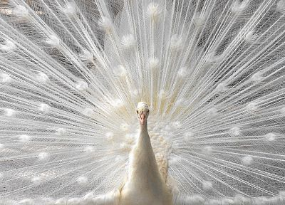 white, birds, feathers, dancing, albino, peacocks - related desktop wallpaper