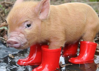 boots, red, animals, pigs - desktop wallpaper