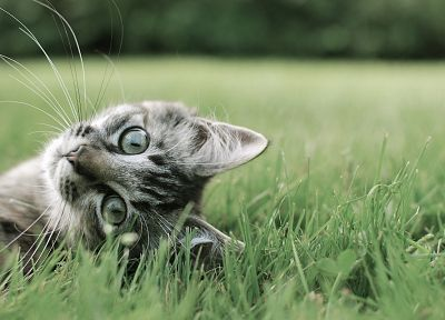 cats, animals, grass, kittens, pets - related desktop wallpaper