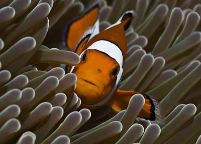 animals, reef, coral, clownfish - desktop wallpaper