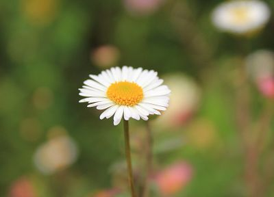 flowers, daisy - desktop wallpaper