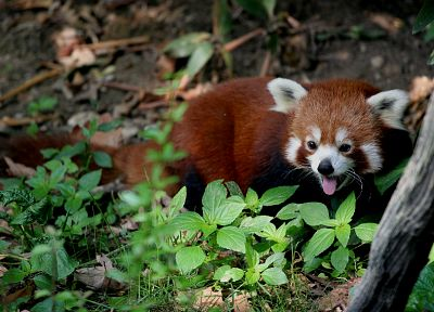 animals, red pandas - related desktop wallpaper