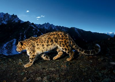 mountains, animals, snow leopards, leopards - related desktop wallpaper