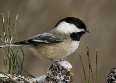 winter, black, Chickadee - desktop wallpaper