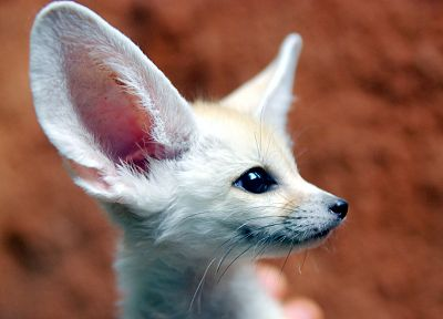 fennec fox, baby animals - desktop wallpaper