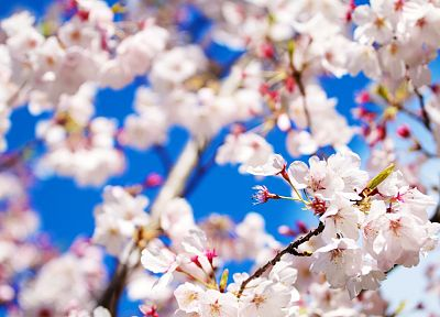 nature, cherry blossoms, flowers, macro - related desktop wallpaper